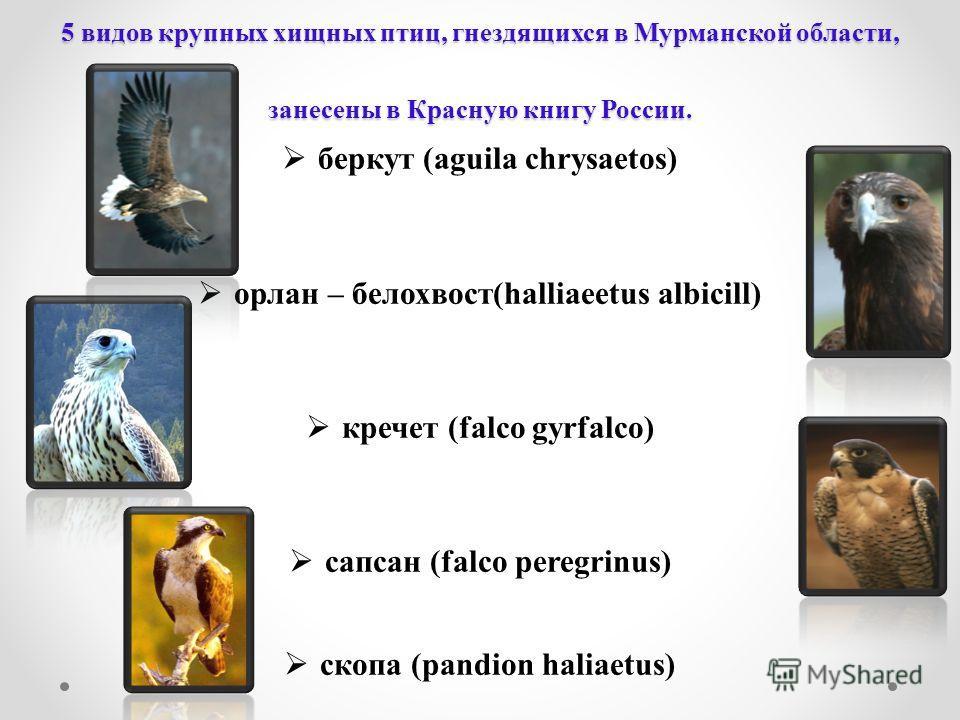 5 видов крупных хищных птиц, гнездящихся в Мурманской области, занесены в Красную книгу России. беркут (aguila chrysaetos) орлан – белохвост(halliaeetus albicill) кречет (falco gyrfalco) cапсан (falco peregrinus) cкопа (pandion haliaetus)