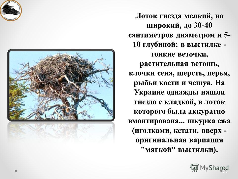 Лоток гнезда мелкий, но широкий, до 30-40 сантиметров диаметром и 5- 10 глубиной; в выстилке - тонкие веточки, растительная ветошь, клочки сена, шерсть, перья, рыбьи кости и чешуя. На Украине однажды нашли гнездо с кладкой, в лоток которого была акку