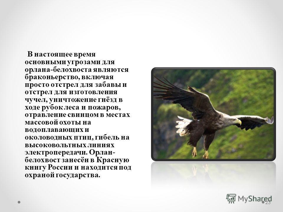 23 В настоящее время основными угрозами для орлана-белохвоста являются браконьерство, включая просто отстрел для забавы и отстрел для изготовления чучел, уничтожение гнёзд в ходе рубок леса и пожаров, отравление свинцом в местах массовой охоты на вод