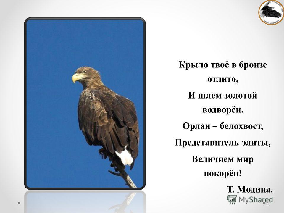 Крыло твоё в бронзе отлито, И шлем золотой водворён. Орлан – белохвост, Представитель элиты, Величием мир покорён! Т. Модина. 4
