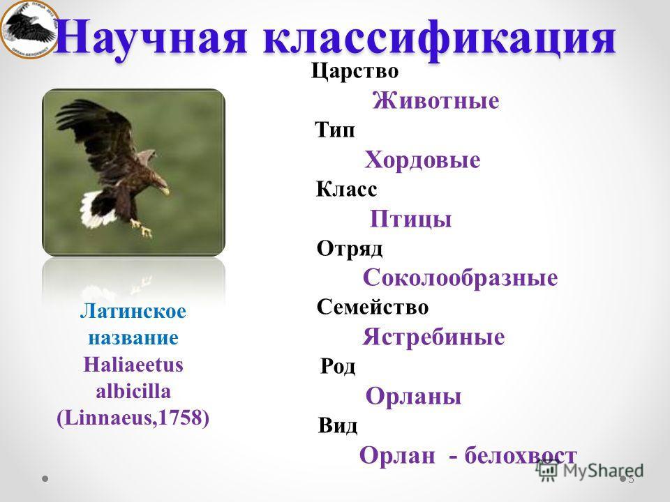 Царство Животные Тип Хордовые Класс Птицы Отряд Соколообразные Семейство Ястребиные Род Орланы Вид Орлан - белохвост Научная классификация 5 Латинское название Haliaeetus albicilla (Linnaeus,1758)