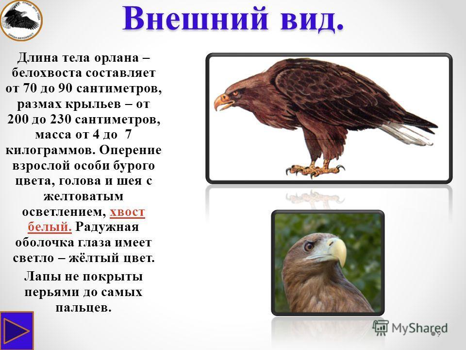 Внешний вид. 9 Длина тела орлана – белохвоста составляет от 70 до 90 сантиметров, размах крыльев – от 200 до 230 сантиметров, масса от 4 до 7 килограммов. Оперение взрослой особи бурого цвета, голова и шея с желтоватым осветлением, хвост белый. Радуж