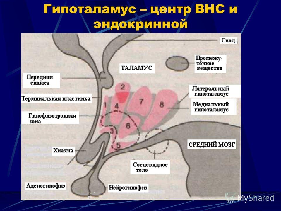 Гипоталамус – центр ВНС и эндокринной
