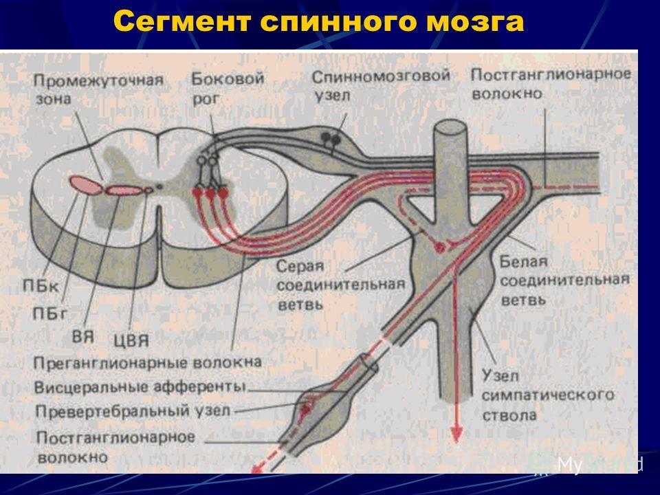 Сегмент спинного мозга