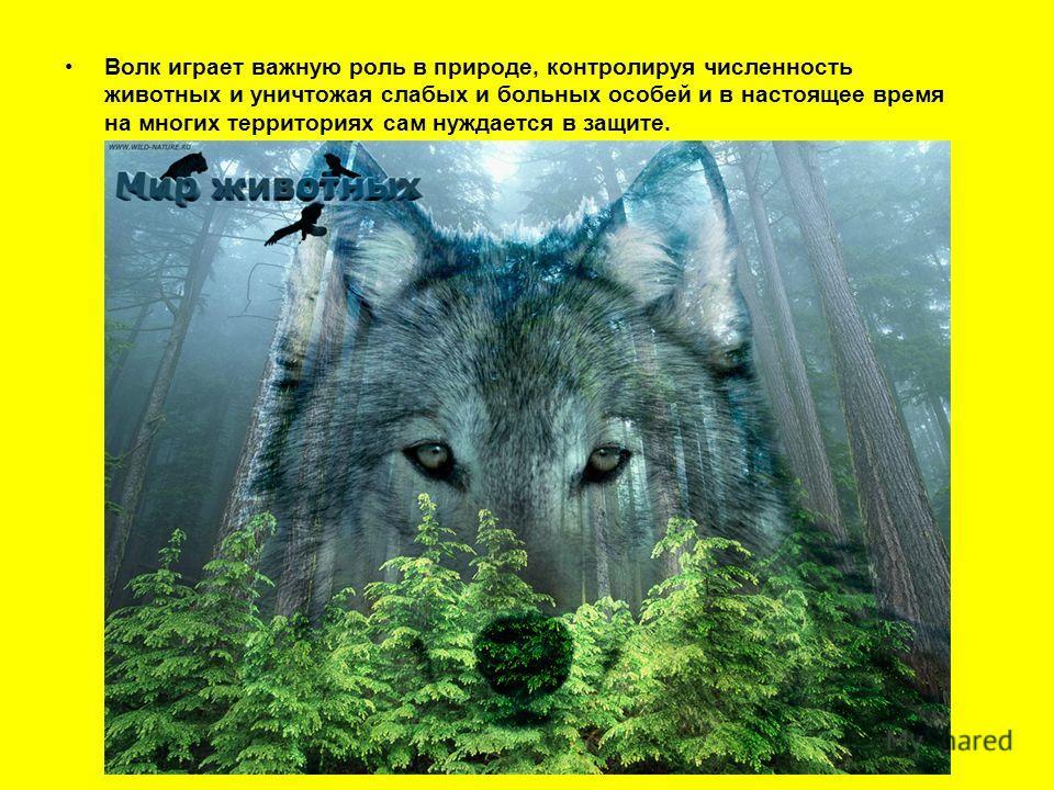 Волк играет важную роль в природе, контролируя численность животных и уничтожая слабых и больных особей и в настоящее время на многих территориях сам нуждается в защите.