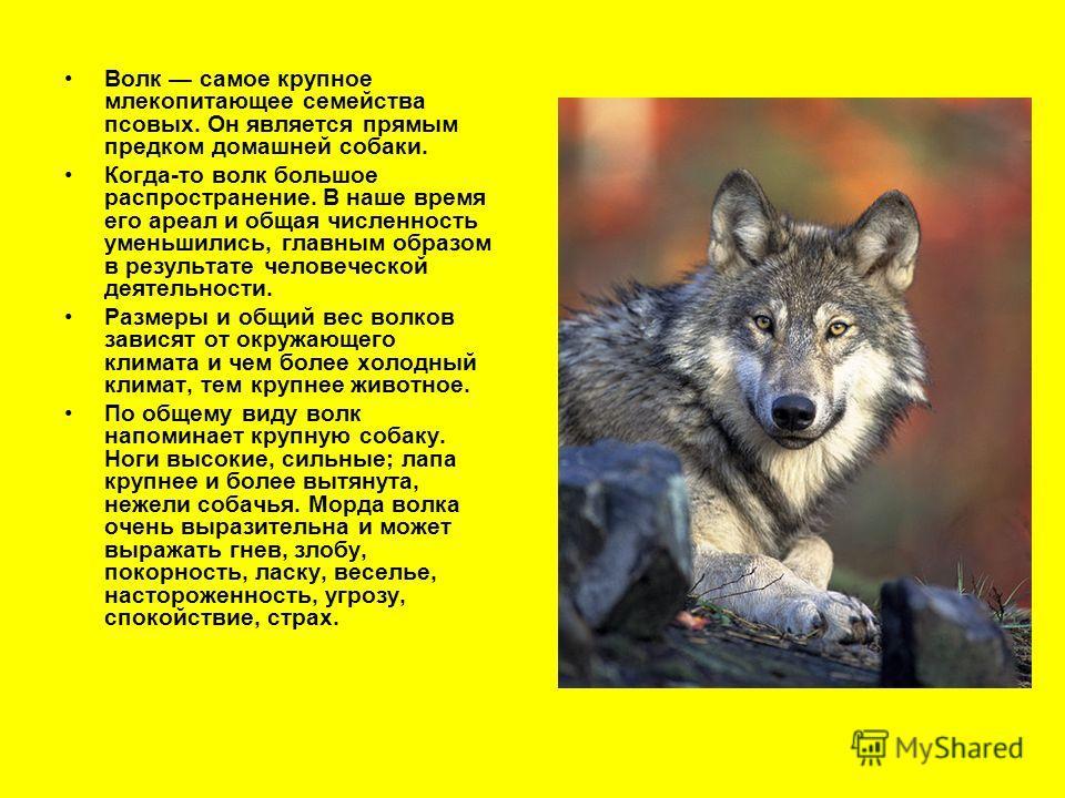 Волк самое крупное млекопитающее семейства псовых. Он является прямым предком домашней собаки. Когда-то волк большое распространение. В наше время его ареал и общая численность уменьшились, главным образом в результате человеческой деятельности. Разм