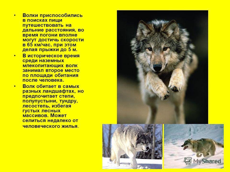 Волки приспособились в поисках пищи путешествовать на дальние расстояния, во время погони вполне могут достичь скорости в 65 км/час, при этом делая прыжки до 5 м. В историческое время среди наземных млекопитающих волк занимал второе место по площади