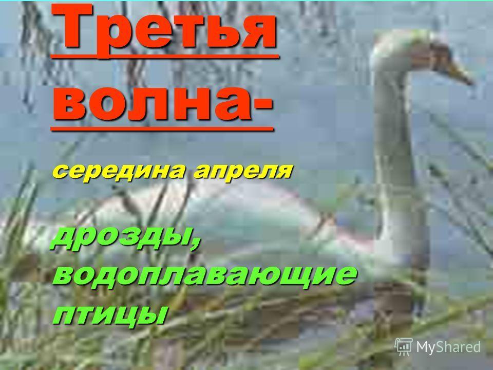 Третья волна- середина апреля дрозды, водоплавающие птицы