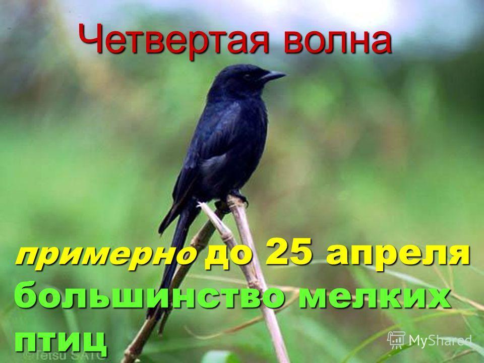 Четвертая волна примерно до 25 апреля большинство мелких птиц