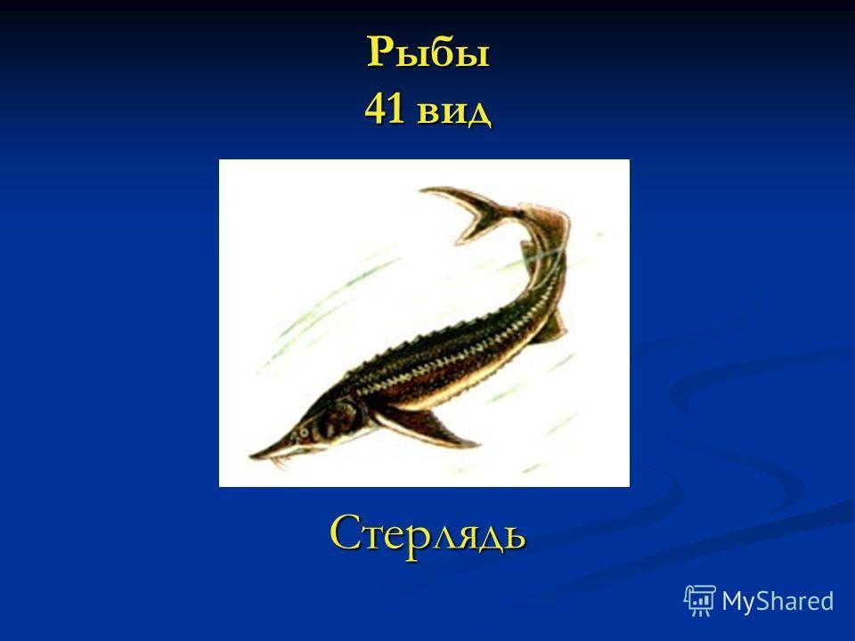 Рыбы 41 вид Стерлядь