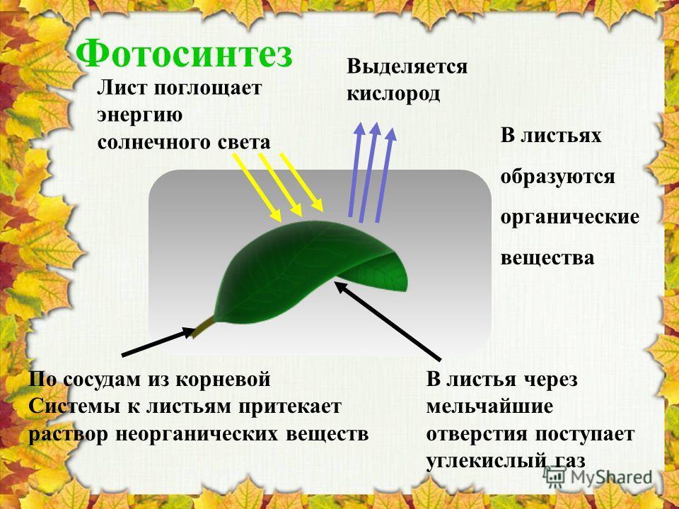 Фотосинтез Выделяется кислород В листья через мельчайшие отверстия поступает углекислый газ Лист поглощает энергию солнечного света В листьях образуются органические вещества По сосудам из корневой Системы к листьям притекает раствор неорганических в
