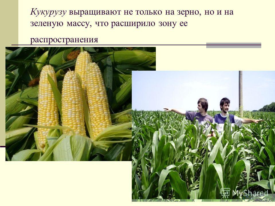 Кукурузу выращивают не только на зерно, но и на зеленую массу, что расширило зону ее распространения