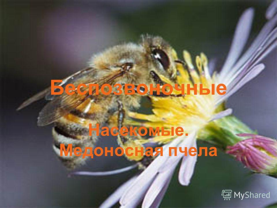 Беспозвоночные Насекомые. Медоносная пчела