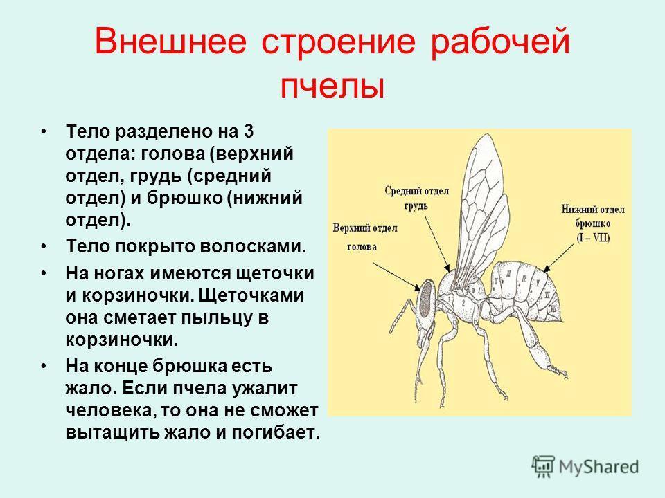 Внешнее строение рабочей пчелы Тело разделено на 3 отдела: голова (верхний отдел, грудь (средний отдел) и брюшко (нижний отдел). Тело покрыто волосками. На ногах имеются щеточки и корзиночки. Щеточками она сметает пыльцу в корзиночки. На конце брюшка