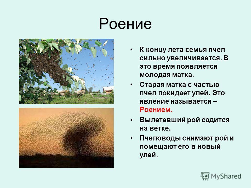 Роение К концу лета семья пчел сильно увеличивается. В это время появляется молодая матка. Старая матка с частью пчел покидает улей. Это явление называется – Роением. Вылетевший рой садится на ветке. Пчеловоды снимают рой и помещают его в новый улей.