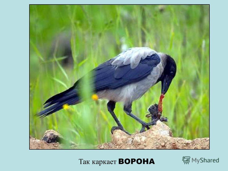 А это звенит птичка СИНИЧКА