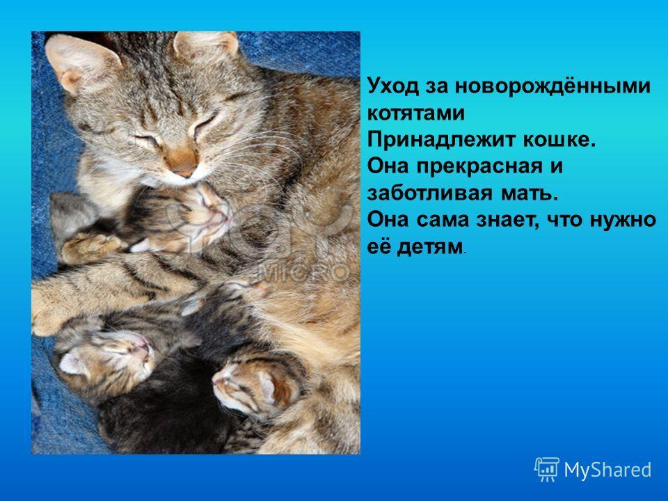 Уход за новорождёнными котятами Принадлежит кошке. Она прекрасная и заботливая мать. Она сама знает, что нужно её детям.
