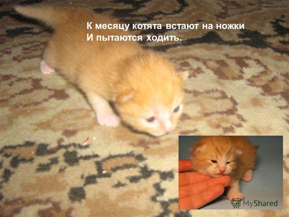 К месяцу котята встают на ножки И пытаются ходить.
