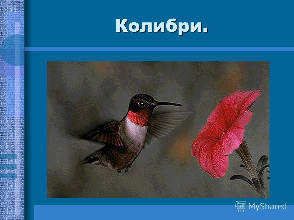 Вопросы для любознательных. Какая птица самая маленькая в мире? Какую птицу считают крупной и величественной? Огромная птица с размахом крыла в три с половиной метра. Гигант среди современных птиц.