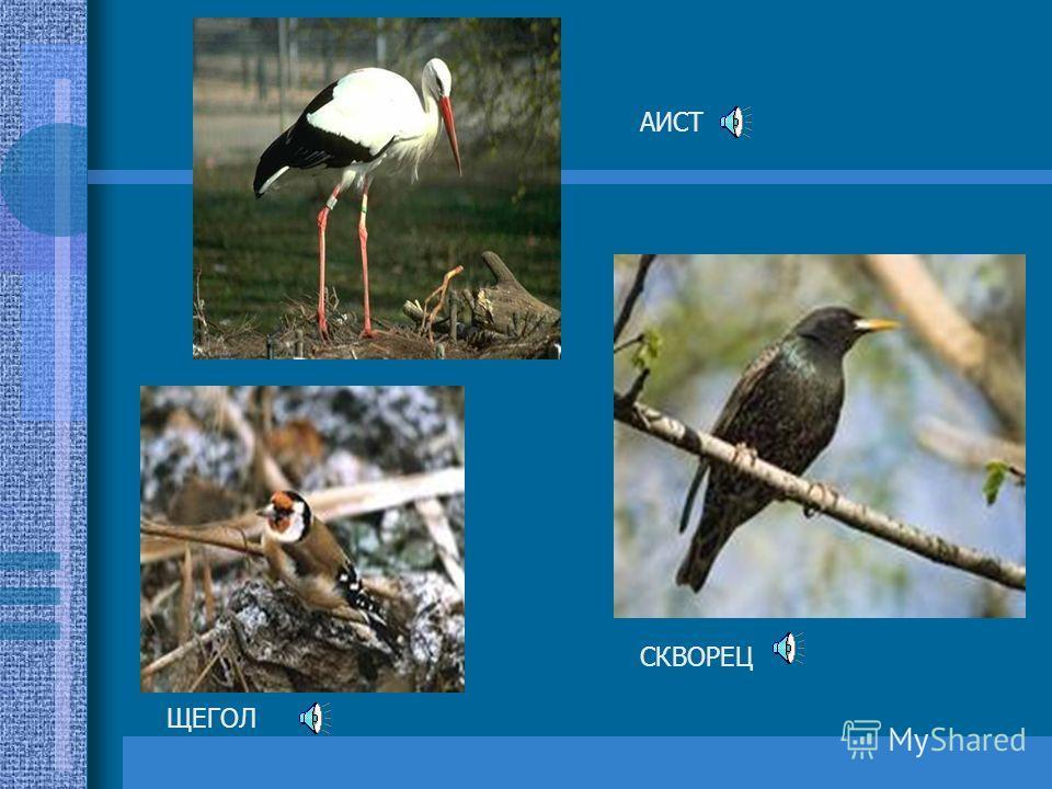 Весна – горячая пора. Весной у птиц наступает период размножения. Самка строит уютное гнездо, откладывает яйца и насиживает их. Самцы занимают для своей будущей семьи лучшие участки и пением об этом сообщают другим.