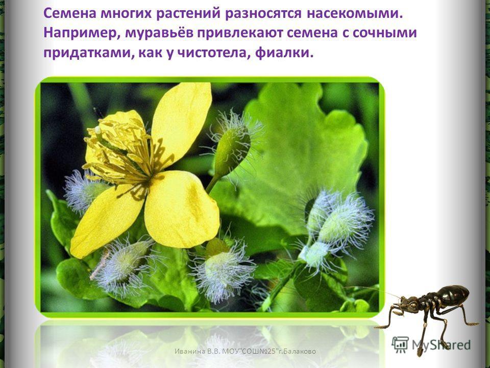Семена многих растений разносятся насекомыми. Например, муравьёв привлекают семена с сочными придатками, как у чистотела, фиалки.
