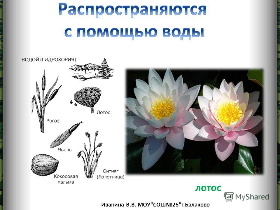 Иванина В.В. МОУСОШ25г.Балаково лотос