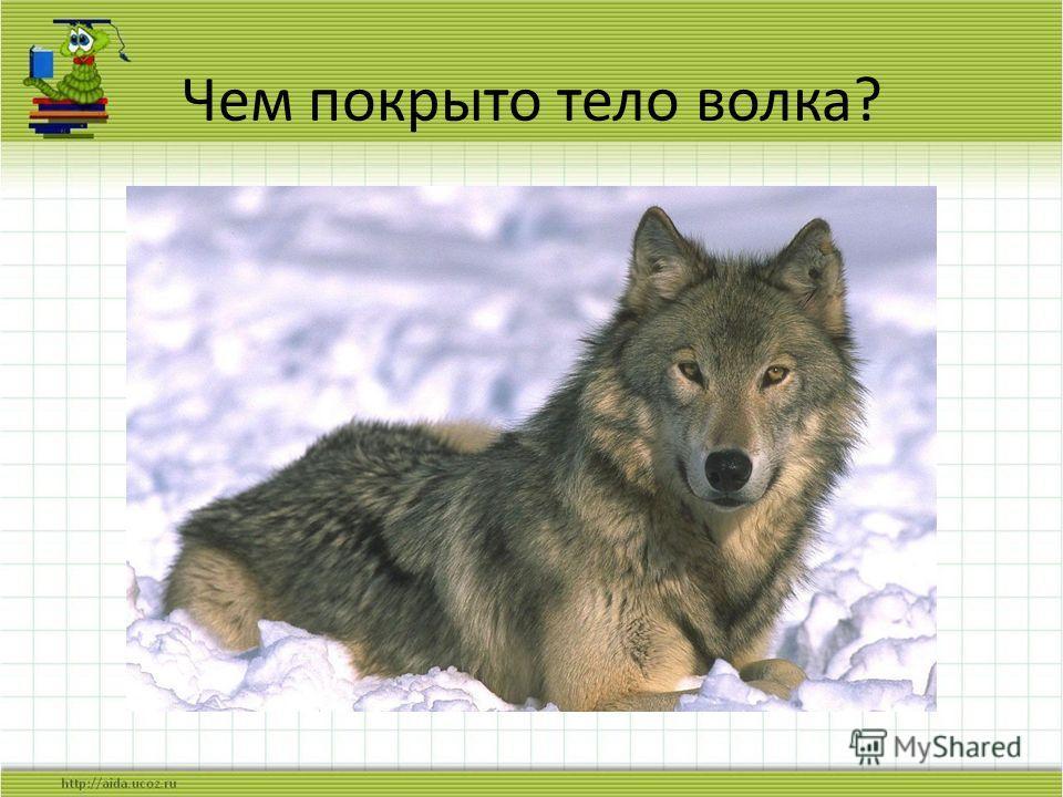 Чем покрыто тело волка?