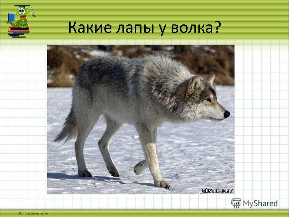 Какие лапы у волка?