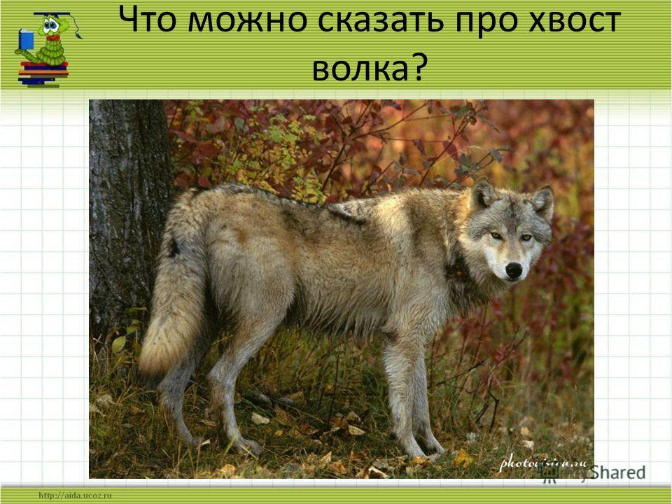 Что можно сказать про хвост волка?