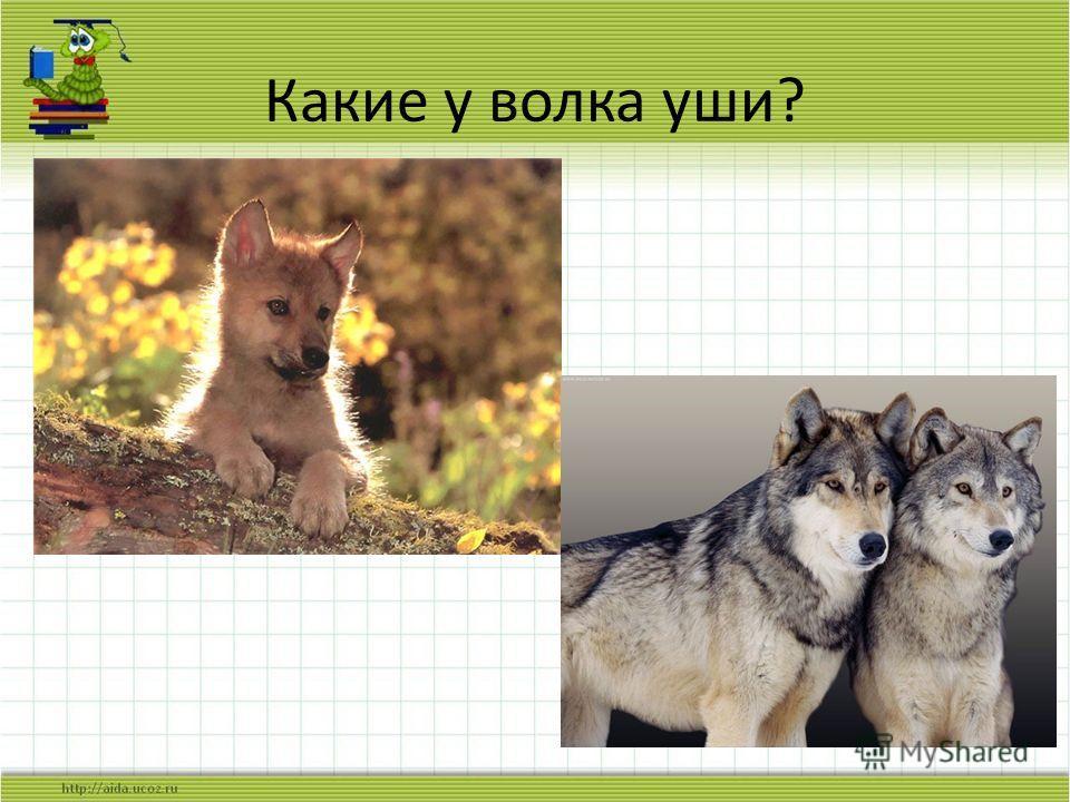 Какие у волка уши?