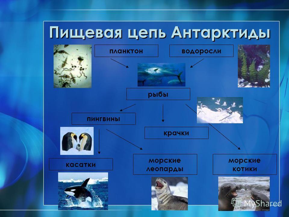 Пищевая цепь Антарктиды планктон рыбы водоросли пингвины морские леопарды морские котики касатки крачки