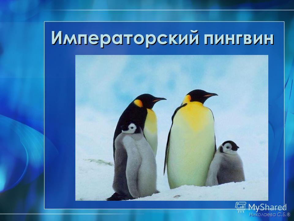 Императорский пингвин Николаева С.Б. ®