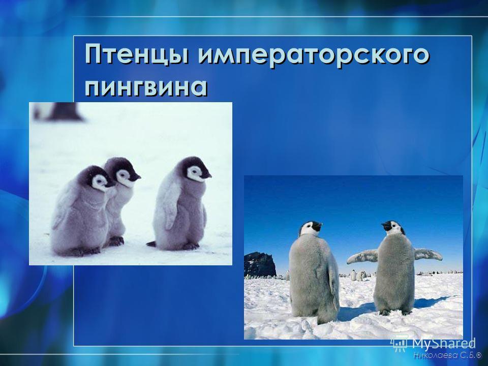 Птенцы императорского пингвина Николаева С.Б. ®