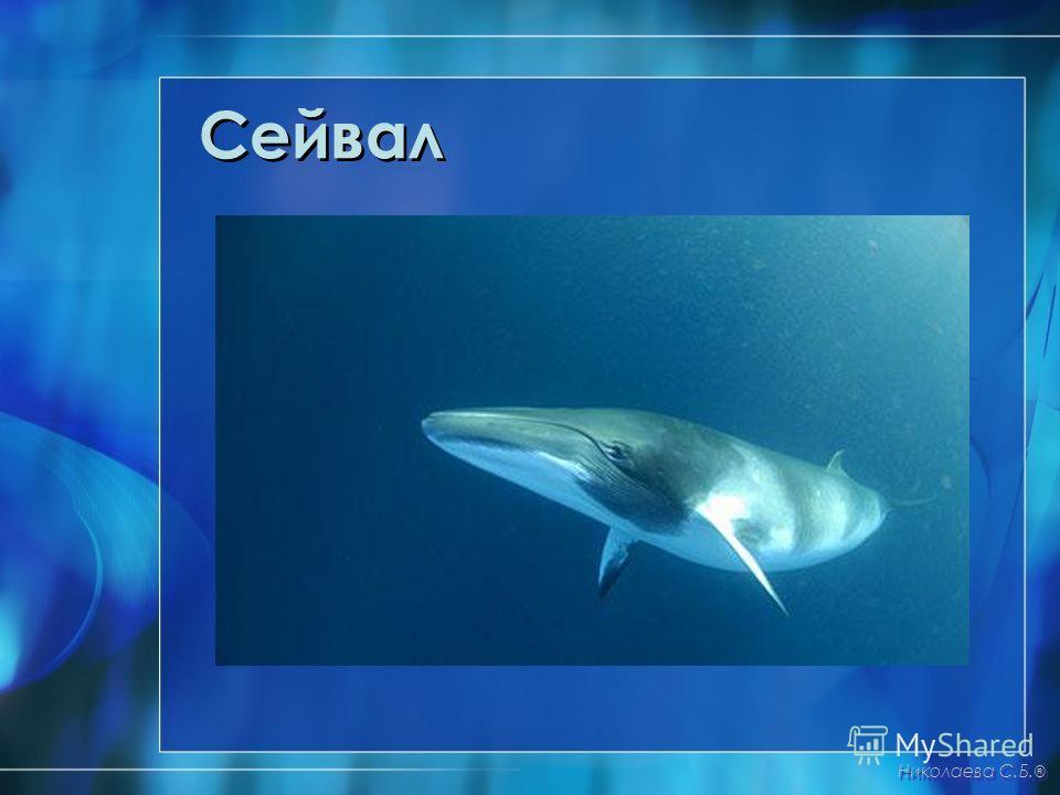 Сейвал Николаева С.Б. ®