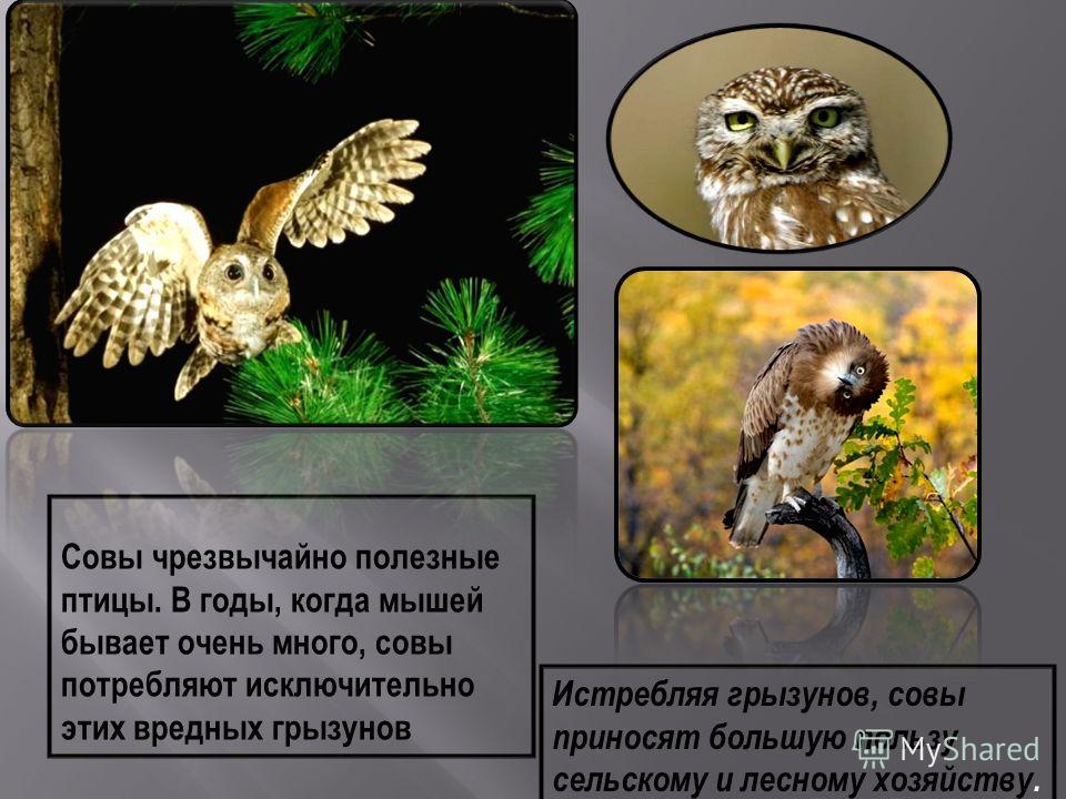 В течение всего дня совы спят, спрятавшись в уютном месте на дереве. Дневные птицы почему-то не любят сову, поэтому, увидев ее днем, налетают на ночную хищницу, пытаясь заклевать ее. http://www.cryptomundo.com/cryptozoo-news/murder- owl /