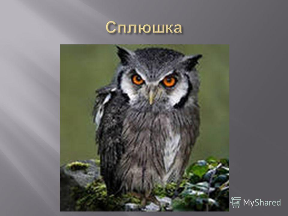 В ясные лунные ночи совы охотятся до восхода солнца. У птиц очень острое зрение и прекрасный слух. Глаза совы похожи на кошачьи – такие же большие и выпуклые. Часто в сказках глаза у совы светятся в ночной темноте, но это не так. Кроме того, выдумкой