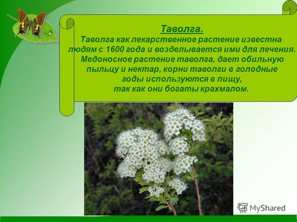 Таволга. Таволга как лекарственное растение известна людям с 1600 года и возделывается ими для лечения. Медоносное растение таволга, дает обильную пыльцу и нектар, корни таволги в голодные годы используются в пищу, так как они богаты крахмалом.