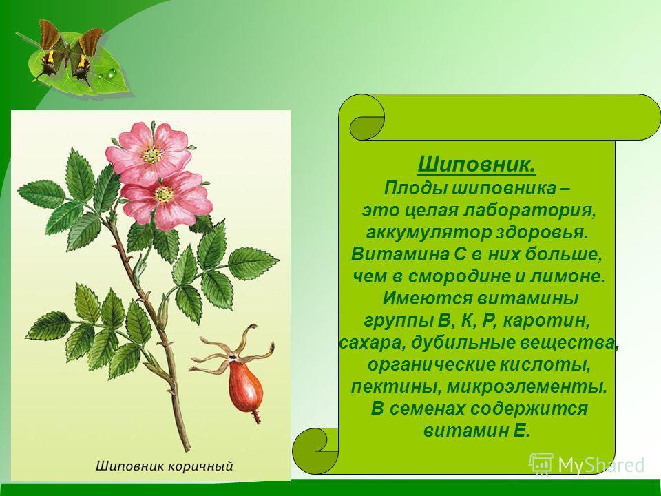 Шиповник. Плоды шиповника – это целая лаборатория, аккумулятор здоровья. Витамина С в них больше, чем в смородине и лимоне. Имеются витамины группы В, К, Р, каротин, сахара, дубильные вещества, органические кислоты, пектины, микроэлементы. В семенах