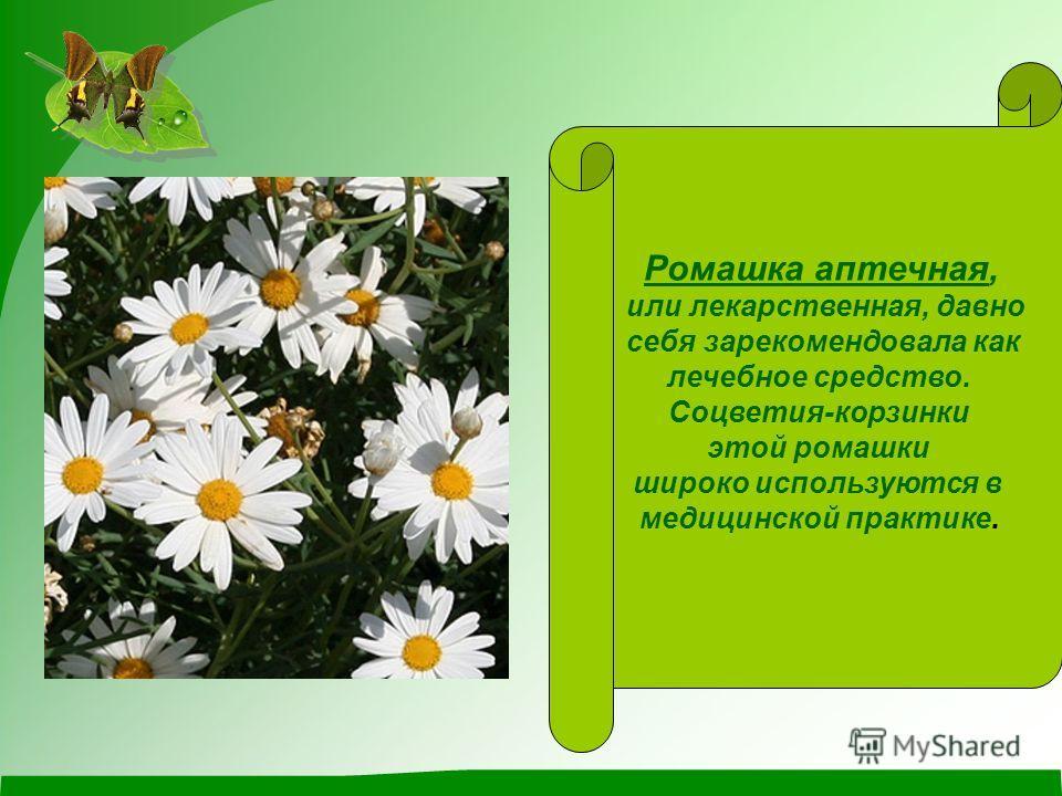 Ромашка аптечная, или лекарственная, давно себя зарекомендовала как лечебное средство. Соцветия-корзинки этой ромашки широко используются в медицинской практике.