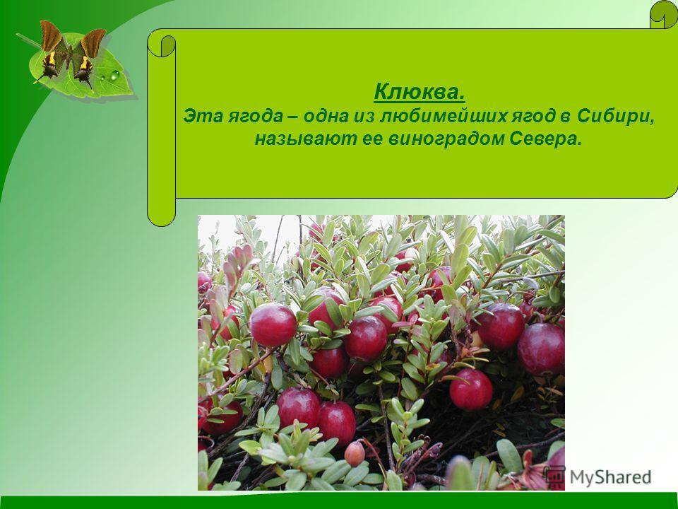 Клюква. Эта ягода – одна из любимейших ягод в Сибири, называют ее виноградом Севера.