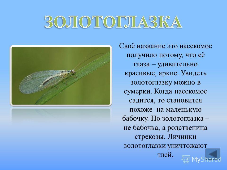 Своё название это насекомое получило потому, что её глаза – удивительно красивые, яркие. Увидеть золотоглазку можно в сумерки. Когда насекомое садится, то становится похоже на маленькую бабочку. Но золотоглазка – не бабочка, а родственица стрекозы. Л