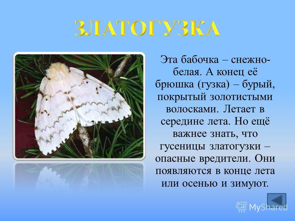 Эта бабочка – снежно- белая. А конец её брюшка (гузка) – бурый, покрытый золотистыми волосками. Летает в середине лета. Но ещё важнее знать, что гусеницы златогузки – опасные вредители. Они появляются в конце лета или осенью и зимуют.