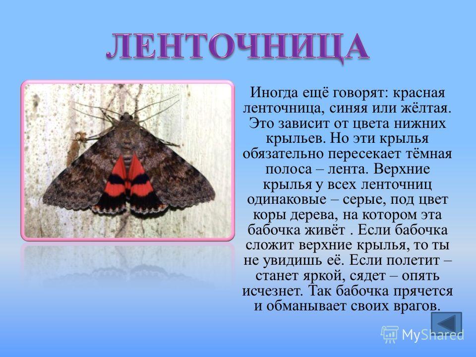 Иногда ещё говорят: красная ленточница, синяя или жёлтая. Это зависит от цвета нижних крыльев. Но эти крылья обязательно пересекает тёмная полоса – лента. Верхние крылья у всех ленточниц одинаковые – серые, под цвет коры дерева, на котором эта бабочк