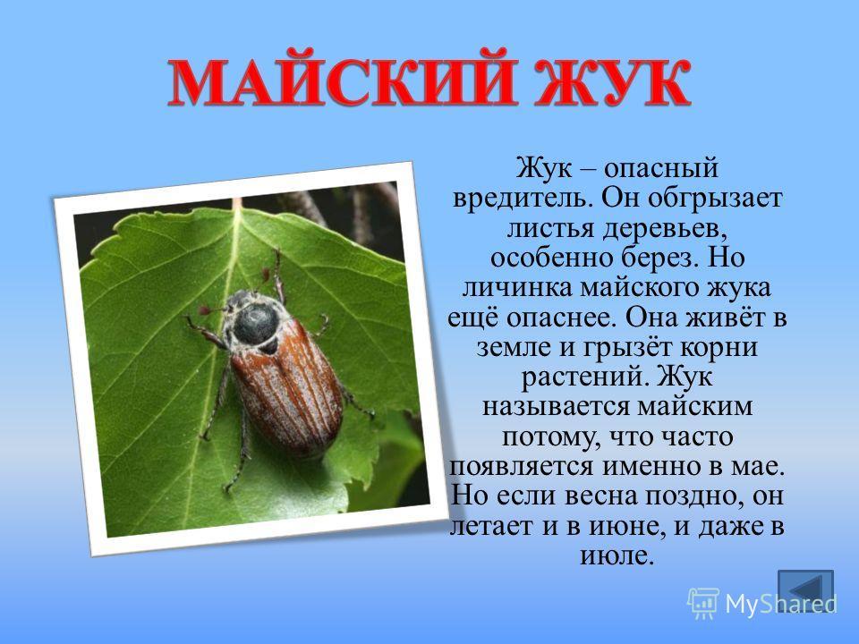 Жук – опасный вредитель. Он обгрызает листья деревьев, особенно берез. Но личинка майского жука ещё опаснее. Она живёт в земле и грызёт корни растений. Жук называется майским потому, что часто появляется именно в мае. Но если весна поздно, он летает