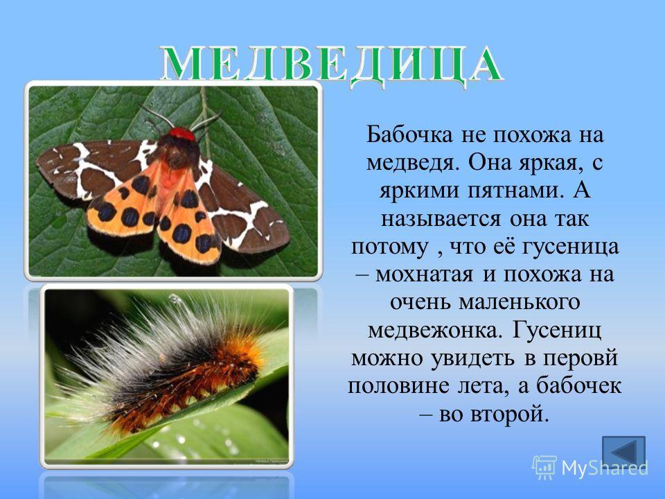 Бабочка не похожа на медведя. Она яркая, с яркими пятнами. А называется она так потому, что её гусеница – мохнатая и похожа на очень маленького медвежонка. Гусениц можно увидеть в перовй половине лета, а бабочек – во второй.