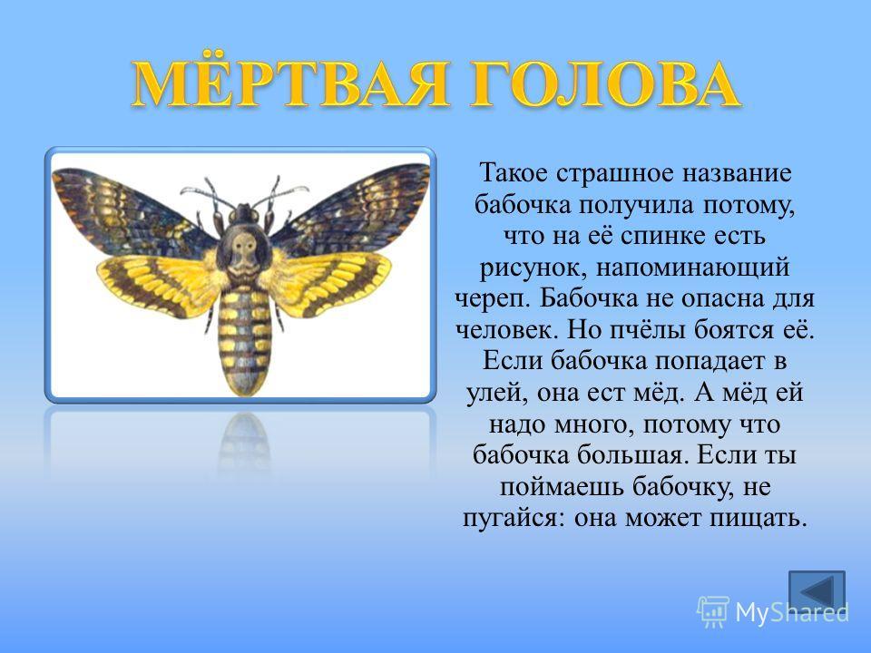 Такое страшное название бабочка получила потому, что на её спинке есть рисунок, напоминающий череп. Бабочка не опасна для человек. Но пчёлы боятся её. Если бабочка попадает в улей, она ест мёд. А мёд ей надо много, потому что бабочка большая. Если ты