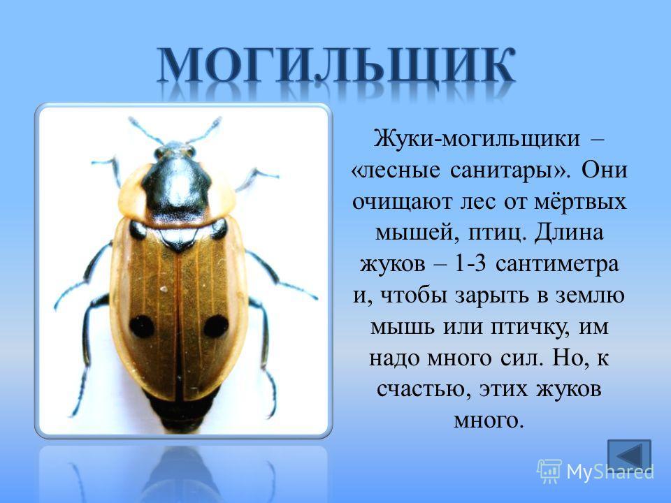 Жуки-могильщики – «лесные санитары». Они очищают лес от мёртвых мышей, птиц. Длина жуков – 1-3 сантиметра и, чтобы зарыть в землю мышь или птичку, им надо много сил. Но, к счастью, этих жуков много.