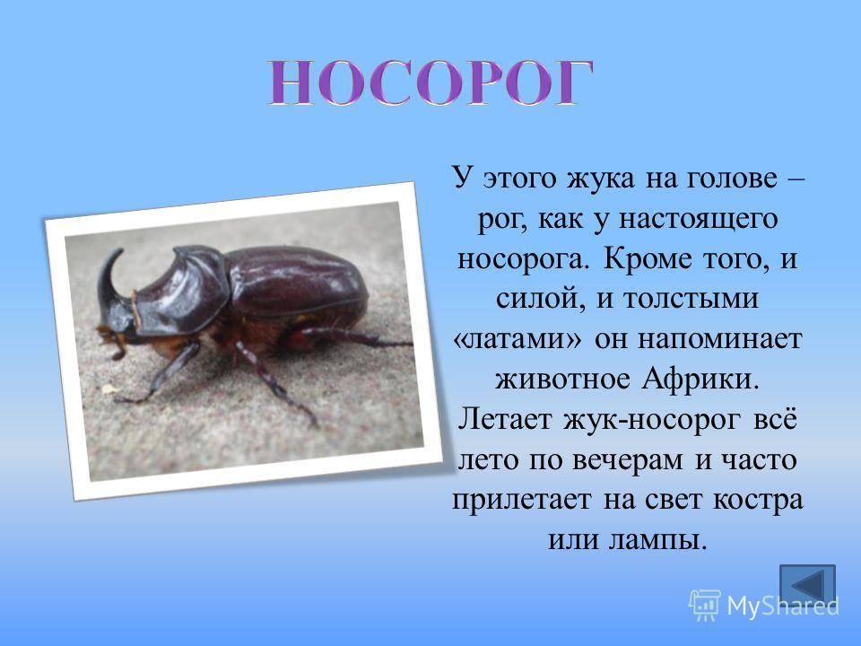 У этого жука на голове – рог, как у настоящего носорога. Кроме того, и силой, и толстыми «латами» он напоминает животное Африки. Летает жук-носорог всё лето по вечерам и часто прилетает на свет костра или лампы.