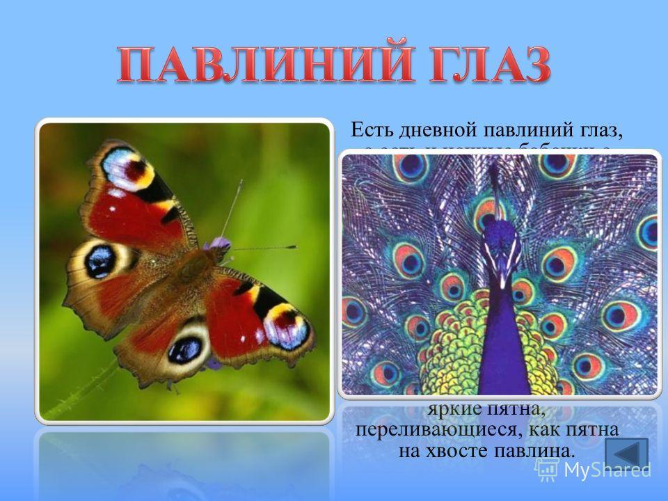 Есть дневной павлиний глаз, а есть и ночные бабочки с таким названием. Самый известный – большой павлиний глаз. Это самая крупная бабочка в Европе. Она ничего не есть: у неё даже рта нет. А живёт большой павлиний глаз за счёт запасов, накопленных гус