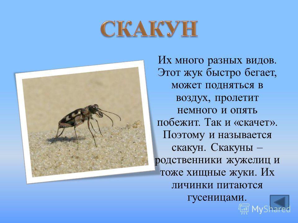 Их много разных видов. Этот жук быстро бегает, может подняться в воздух, пролетит немного и опять побежит. Так и «скачет». Поэтому и называется скакун. Скакуны – родственники жужелиц и тоже хищные жуки. Их личинки питаются гусеницами.